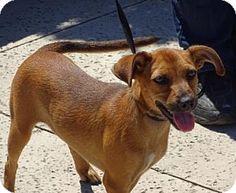 Lathrop, CA - Terrier (Unknown Type, Medium)/Dachshund Mix. Meet Chloe, a puppy for adoption. http://www.adoptapet.com/pet/15946923-lathrop-california-terrier-unknown-type-medium-mix