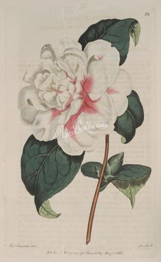 white_flowers-00580 022-camellia japonica, Pompone Camellia or Japan-rose      ...  botanical floral botany natural naturalist nature flowers flower beautiful nice flora plants blooming ArtsCult.com Artscult ArtsCult vintage printable public domain 300 dpi commercial use 1800s 1700s 1900s Victorian Edwardian art clipart royalty free digital download picture collection pack paintings scan high qulity illustration old books pages supplies colla