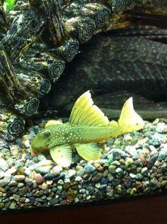 Phantom Green Plecostomus Catfish by Tropical Fish Hobbyist Tropical Fish Aquarium, Tropical Fish Tanks, Freshwater Aquarium Fish, Aquarium Fish Tank, Fish Aquariums, Aquarium Ideas, Pleco Fish, Plecostomus, Fish Breeding