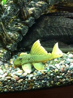 Phantom Green Plecostomus Catfish (Posted on Facebook by Tropical Fish Hobbyist) I want this little guy so bad!