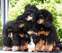 Phantom Poodles