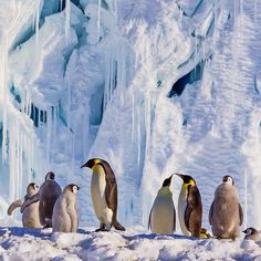 Taken while on assignment in the Ross Sea for @natgeo.  Emperor #Penguins stand on the lee side of a large melting ice berg in order to hide from the wind.  Over 30% of Emperor Penguin colonies are under threat from disappearing sea and glacial ice.  Through @sea_legacy, @cristinamittermeier and I we will be leading donor funded expeditions to document many of the most beautiful and remote places on Earth in order to highlight the importance of healthy ecosystems, draw attention to all the…