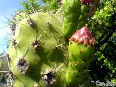 La Tuna, el fruto del Nopal, un cactáceo estupendo! Orgullosamente Mexicano, símbolo de nuestra identidad nacional!  2007 © Abril