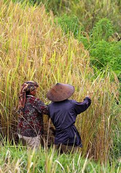 women farmers harvesting rice, Rantepao, Sulawesi, Indonesia
