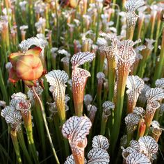 Alabama springtime is divine. More latergrams from #splinterhillbog #pitcherplant #tncalabama by rachelmgranberg