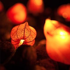 Fairy lights with dried Physalis blossoms. A super easy DIY project for lazy afternoons in the fall. (in German)