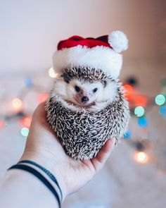 """4,468 Likes, 99 Comments - Brit + Co (@britandco) on Instagram: """"Proof that hedgehogs do Christmas best. ✨ #britstagram #regram via @huffypuffs"""""""