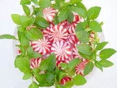 Mint Varieties (especially chocolate, pineapple and ginger mint...I really want these three)