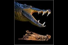 Prehistoric Crocodile
