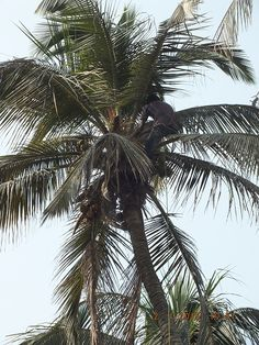 Grit, determination & muscle...the unknown Tree Climbers of #Karachi. Credit for the upkeep and cleanliness of our #Coconut Trees at the @Beach_Luxury #Hotel goes to these men who periodically climb our 20+ meter, 60 yr old trees to spruce the deadwood and bring down the ripe coconuts