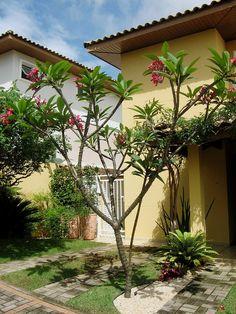 JASMIM-MANGA (Plumeria rubra), Jasmim-manga, árvore-pagode, plumélia, jasmim-de-são-josé, jasmim-do-pará, jasmim-de-caiena, frangipane. A floração inicia-se no fim do inverno e permanece pela primavera, com a sucessiva formação de flores de diversas cores e nuances entre o branco, o amarelo, o rosa, o salmão e o vinho.Devem ser cultivadas à pleno sol, em solo fértil, leve e bem drenado. Não é tolerante ao frio e às geadas. Perfume forte.