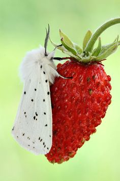 white moth on strawberry! such a contrast