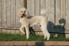 Www.dirtydogzstandard.com Red and White Standard Poodle