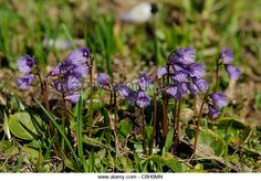 Alpine Snow Bell, Soldanella alpina, Primulaceae, flowers, blooms, alpine flower, near Andeer, Alps. canton, s Grisons, - Stock Image