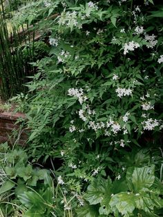 Jasminum grandiflorum - for spiral stairs - to 15'