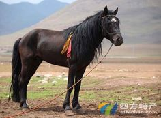Chakou Post horse or Chakouyi horse. 岔口驿马 . Tibet, China. It is one of the six Tibetan breeds. It comes from the Tibetan Autonomous County of Tianzhu, Yongding, and Gulang County, Ganshu Province, China. They are highly resistant to disease and incredibly hardy due to their extreme habitat.