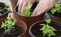Growing tomato plants from seeds is not that difficult and it is extremely rewarding. Phenomenal Growing Tomatoes from Seeds Ideas. Growing Tomatoes Indoors, Growing Tomatoes From Seed, Growing Green Beans, Growing Tomato Plants, Varieties Of Tomatoes, Tomato Seedlings, Growing Tomatoes In Containers, Tomato Seeds, Growing Seeds