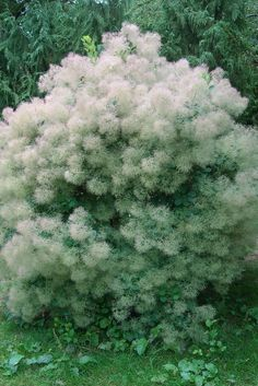 Smokebushes are unique plants that have fluffy, airy blossoms that almost look like smoke in the air. These can be found in many colors. Add one to your front yard for all your neighbors to admire.