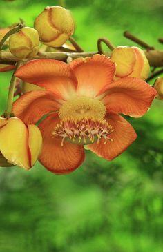 Canonball flower