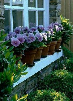 Pansy Flowerpot Garden on a Window Ledge ....