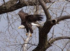 You have to have a photo of a Bald Eagle. I took this one on the western border of Iowa.