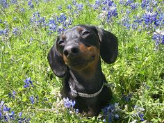 Happy Dachshund!