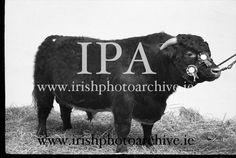 Febrary 23rd 1961 R.D.S. Bull Show. Show Horses, Photo Archive, Dublin, Equestrian, Ireland, Irish, Gallery, Animals, Image