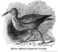 Eskimo curlew, from the late 1800's, artist unknown. Like the passenger pigeon, once flocked in the billions; last seen in 1963.