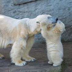 This cub, named Arktos, is one of two healthy baby boys born at Zoo Vienna to mother Olinka. Mother bears nuzzle muzzles with their cubs to demonstrate affection and strengthen bonds.