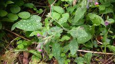 Hänsel und Gretel oder Lungenkraut Plant Leaves, Plants, Plant, Planets