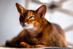 Abyssinian Cat Happy Animals, Animals And Pets, Cute Animals, Pretty Animals, Burmese Kittens, Abyssinian Kittens, Tonkinese Cat, Snowshoe Cat, Exotic Cats