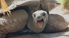 tortuga gigante de srychelles