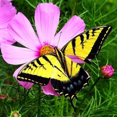 Butterfly And Cosmos Love Fest