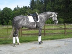 Dapple grey thoroughbred, same as Diamond! Di is much more handsome though!