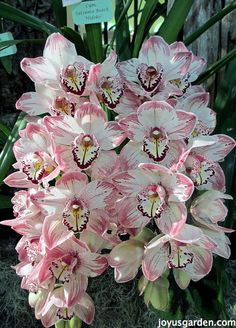 Cymbidium Orchids are beautiful & not hard to care for at all. Learn what they like & what you need to do to keep yours going strong. There's a video too.