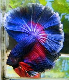 #Fresh #Water #Fancy #Betta #Fish #Bowl #Pet #Animal #Nature #Underwater #Photography #Color #Blue #Red #Male #Half #Moon