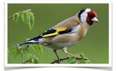 The European Goldfinch (Carduelis carduelis) is a small passerine bird in the finch family that is native to Europe, North Africa and western Asia. It has been introduced to other areas including Australia, New Zealand and Uruguay. It is often depicted in Italian renaissance paintings of the Madonna and Child and referred to as British Goldfinch, Euro Goldfinch, Eastern Goldfinch, Eurasian Goldfinch, Goldfinch, Thistle-finch.
