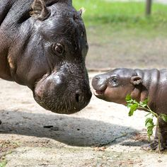 Krakow Zoo Welcomes A Rare Male Pygmy Hippo Calf. Today on ZooBorns:   http://www.zooborns.com/zooborns/2013/05/krakow-zoo-welcomes-an-important-male-pygmy-hippo-calf.html