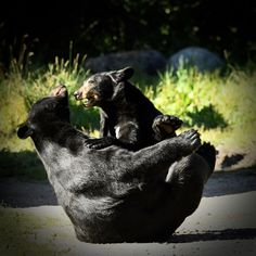 Black Bears Playing [2048 x 2048]