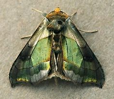 Green-Perched Looper Moth.  Reminds me of labradorite!