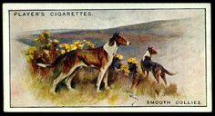 """Cigarette Card - Smooth Collies Player's Cigarettes """"Dogs, Scenic Background"""" (series of 50 issued in Smooth Collies Smooth Collie, Dog Artwork, Old Postcards, Book Of Shadows, Ephemera, Dog Cat, Moose Art, Signs, Cats"""