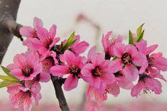 Birds In Flight, Plum, Stock Photos, Spring, Illustration, Floral, Plants, Flying Birds