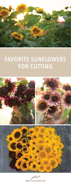 Favorite sunflowers for cutting, including new varieties for with basic growing information and suggestions for use in floral design. Farm Gardens, Outdoor Gardens, Flower Garden Drawing, Types Of Sunflowers, Organic Farming, Organic Gardening, Sunflower Garden, Flower Farmer, Cut Flowers