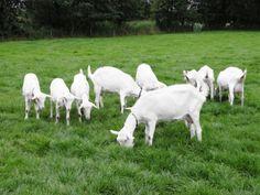Nederlandse witte geiten