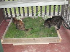 BUILD A CAT YARD FOR AN INDOOR CAT! Measure the size of the yard you prefer. Use 2 x 4's to frame, a ply board base, line with heavy plastic, fill with dirt & sod, & water well! Great for cats who have a confined outside world such as a balcony (provide access through a cat door). Your cat will NOT go to the bathroom in their yard. Cats prefer loose litter! They're the ultimate animal of cleanliness! No, the torti cat is not going to the bathroom! She's experiencing grass for the first time!