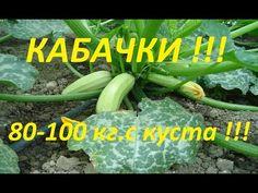 Как вырастить 80-100 кг кабачков с куста, с ранней весны, и до поздней осени !!! - YouTube