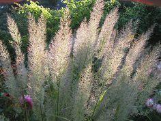 Diamantgräs. Calamagrostis brachytricha. Vackra skira vippor som gör sig fint mot sensommarblommande perenner.
