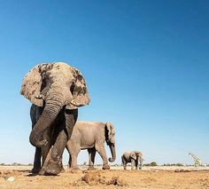 .From :@morkelerasmus - Where the big boys gather... ____________ For info about promoting your elephant art or crafts send me a direct message @elephant.gifts or emailelephantgifts@outlook.com . Follow @elephant.gifts for inspiring elephant images and videos every day! . . #elephant #elephants #elephantlove