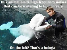 """""""Who's the funky looking donkey?"""" """"It's a beluga."""" """"Uh-huh, and what's that animal on the left?"""" """"A beluga.?""""<<<Oh, that makes things easier for me."""