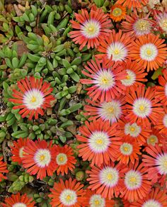Delosperma cooperi. Ice plant. Ground cover. Grows best in dry, well drained soil in full sun. Hardy zones 6-10. If growing in colder zones, bring inside for winter protection.